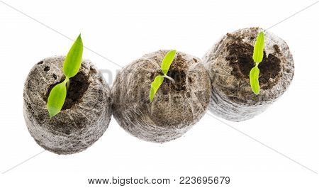 peat pellets for germinating plants with little tomato plants