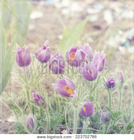 delicate spring purple pasque flowers growing in the garden