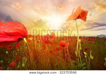 Beautiful backgroud with poppy flowers on a land illuminated by sunset light in summer season