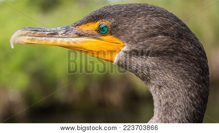 Side face portrait of a double-crested cormorant also known as Phalacrocorax auritus
