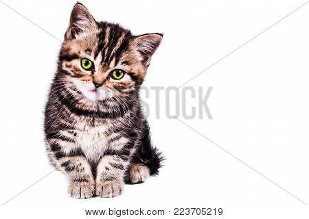 playful Scottish Straight kitten on white background