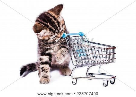 Scottish Straight kitten in a plaid with shopping cart on white background