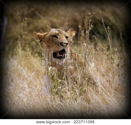 Lion female in the sabana in Tanzania