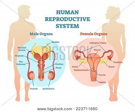 Female Urethra Images Illustrations Vectors Free Bigstock