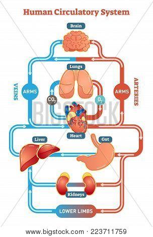 Human Circulatory System vector illustration diagram, blood vessels scheme. Medical infographic.