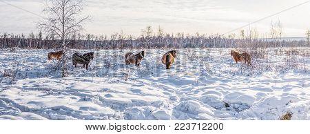 beautiful brown horses walking in snow, yakutia