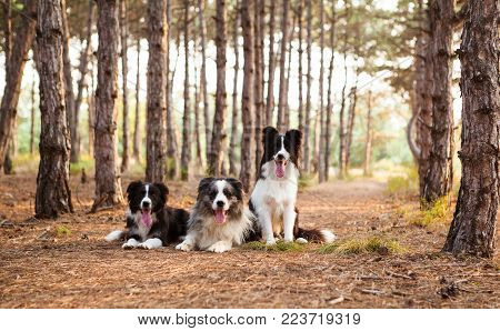 three border collie on a walk in the woods portrait