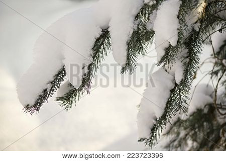 textured green leaves of the Bush in the sun in winter, leaves in the form of needles, prickly foliage in the snow