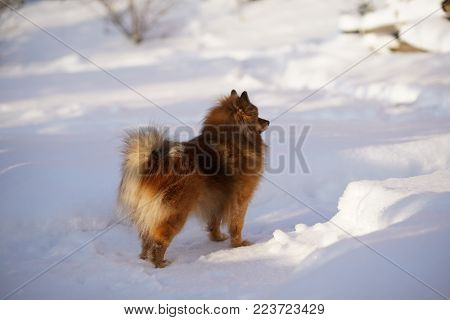 dog on winter walk German Spitz stands in the snow in the Park. Winter.