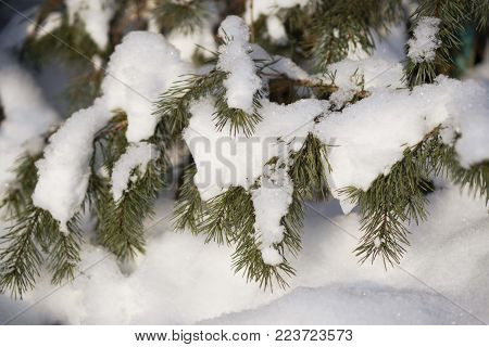 green leaves of a Bush in the sun in winter, leaves in the form of needles, prickly foliage in the snow