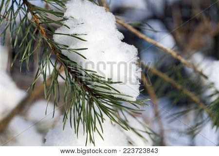 Branch snow pine tree in winter forest sunlight