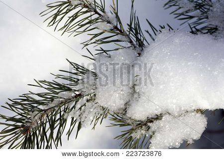 Snowy pine branch, snowflakes closeup in the sun