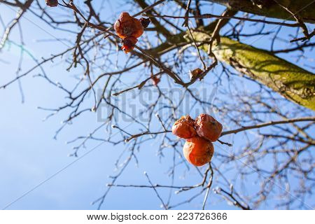 Dry apple, quince rotten fruit on the tree in orchard, organic food.
