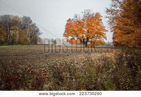 Autumn Maple Background. Large maple tree in a farm field at peak fall color.