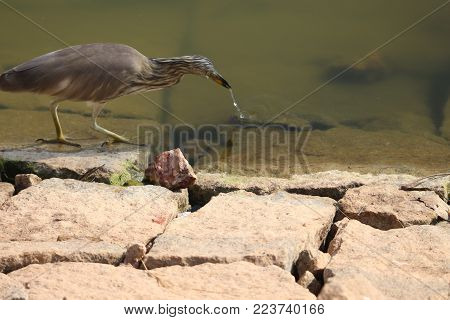 isolated indian pond heron in the pond