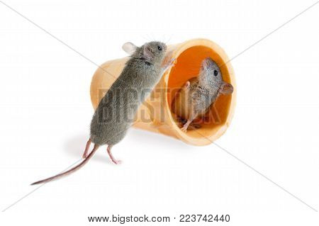 closeup the field mouse (Apodemus agrarius) pushes  wafer cone with inside another mouse. isolated on white