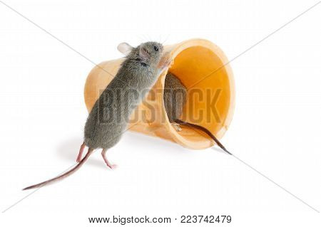 closeup the field mouse (Apodemus agrarius) pushes  wafer cone in which sits another mouse. isolated on white