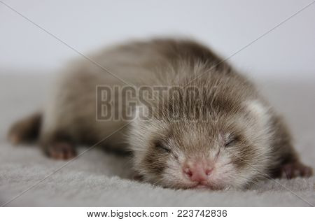 A n angora chocolate baby ferret with three weeks