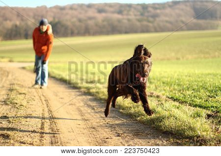 the brown dog runs across the field