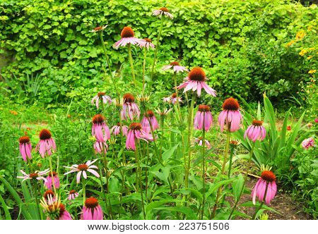 Echinacea purpurea and purple coneflowers flower bed. Garden Landscaping with coneflowers and Design Ideas.