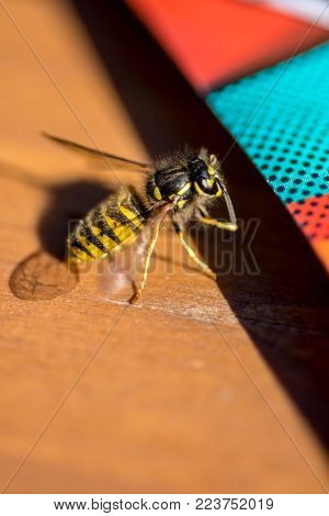 Yellow Wasp on Wooden Table Close Up
