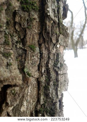 Old brown tree bark on the winter white background