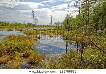 Summer noon in the Siberian taiga near the impassable swamp. The sound of mosquitoes, the smell of wild rosemary and mildew