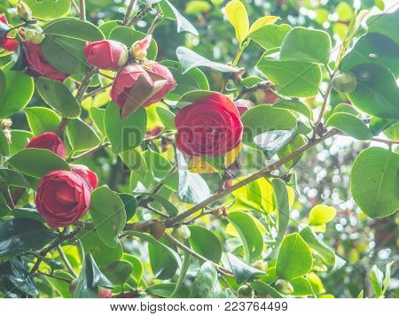 Closeup view of a beautiful tender pink camellia japonica (japanese camellia) flowers in the garden against soft-focused background.