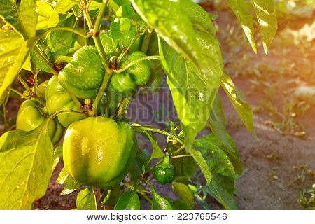 Closeup of ripening peppers in the home pepper plantation. Fresh green sweet Bell Pepper Plants, Paprika Green, yellow peppers growing in a farm garden
