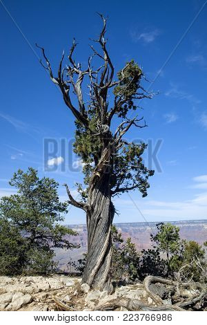 A unique tree at the Grand Canyon National Park in Arizona
