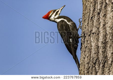 Pileated woodpecker perched on a tree in rural area.