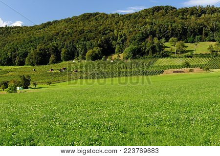 Summer pastoral landscape in Switzerland with hills, forest, vineyards, and meadows