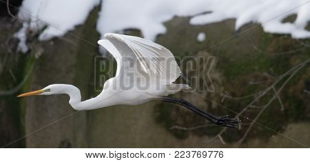 A Great white heron in flight. Ukraine.  2018. Great white heron in white snow wind during cold winter. Wildlife scene from nature.   Heron with snow in the nature habitat. Cold snowy winter in Europe. Wild Animals. Wingspan of White-face heron as it glid