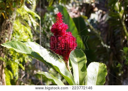 The Giant Alpinias flower, seen in Martinique, French West Indies.