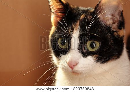 Portrait of cute tricolor cat.Closeup . looking cocnentratly.Copy space