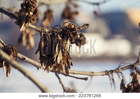 Dry common seeds of ash (Fraxinus excelsior)