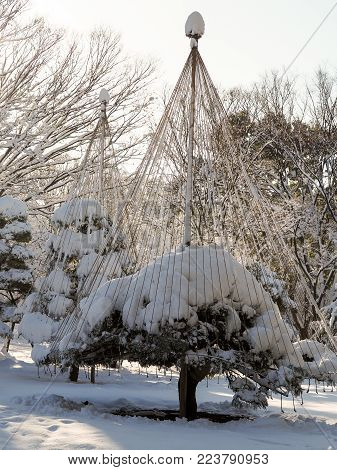 Bonsai trees in Tokyo park covered in snow, with branch support ropes doing their job. Following a rare snow storm in Tokyo Japan, bonsai trees in an inner city park in Tokyo are covered in snow in a rare winter wonderland scene.