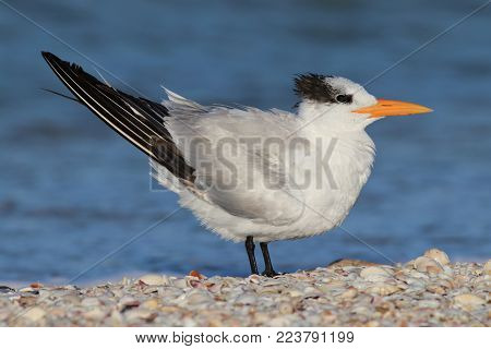 A Royal Tern, Thalasseus maximus in non breeding plumage on a beach with the blue ocean in the background