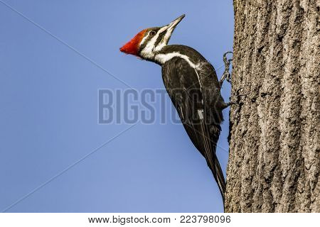 Pileated woodpecker clinging to a tree in a rural area.