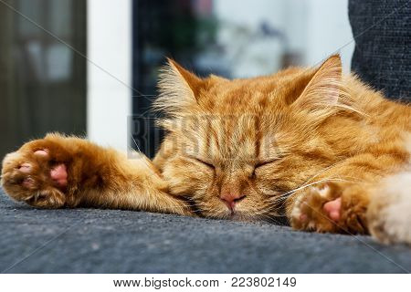 Sleeping Cute Ginger cat on the sofa. Close up sleeping Red cat.
