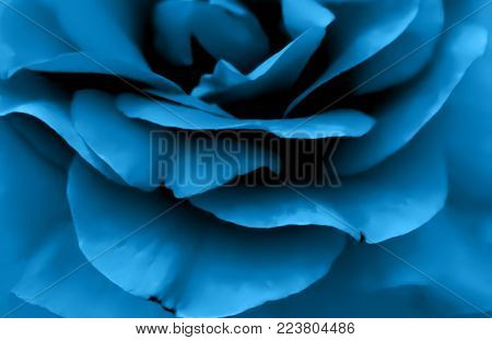 Blue rose petals on the black isolated background with clipping path. Closeup. For design, texture, background. Nature.