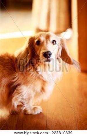 close up Longhair dachshund on a wooden floor.