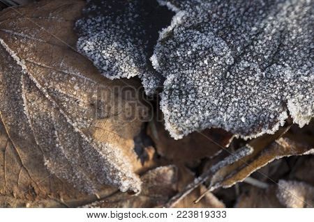 Beautiful beige brown fallen leaves in frost illuminated by the sun close-up background