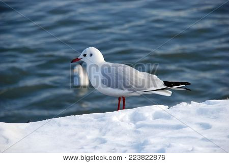 Snow On The Gulls Of The Seaside . Gulls On Snow With Caspian Sea . Seagulls On The Frozen Pier At T