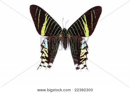 Black And Green Butterfly Urania Leulus Isolated On White Background