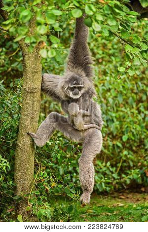 Silvery gibbon with a newborn. The silvery gibbon ranks among the most threatened species.