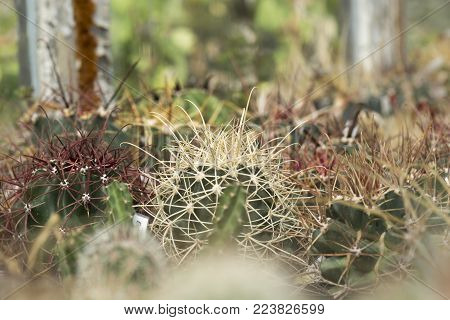 big spine of a cactus Echinocatus  against blurry background