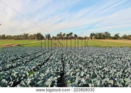 photo of plantation of ripe kale in sunny weather, Israel