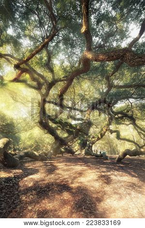 Magic forest. Angel Oak Tree, Charleston, South Carolina, USA