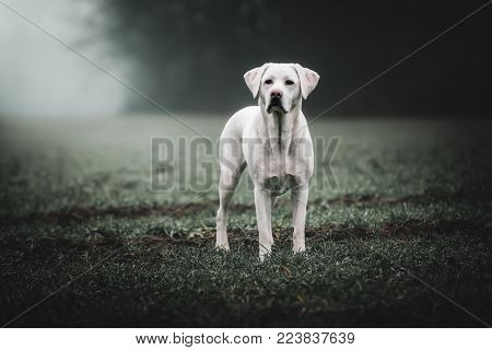 young strong white labrador retriever dog on a field with perfect figure during sunset